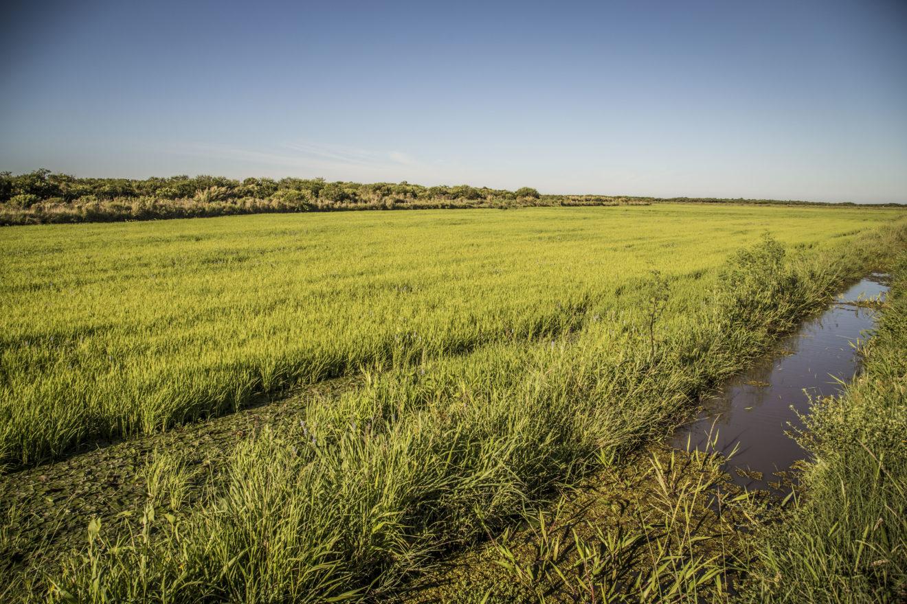 Lavoura de arroz orgânico: ao lado floresta e outros tipos de vida. Amém!