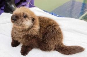lontra-marinha-orfa-resgatada-EUA-veja-fotos-1