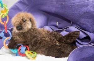 lontra-marinha-orfa-resgatada-EUA-veja-fotos-2
