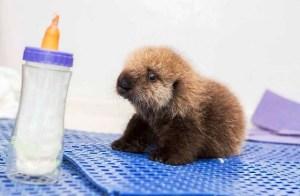 lontra-marinha-orfa-resgatada-EUA-veja-fotos-7