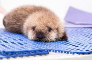 lontra-marinha-orfa-resgatada-EUA-veja-fotos-8